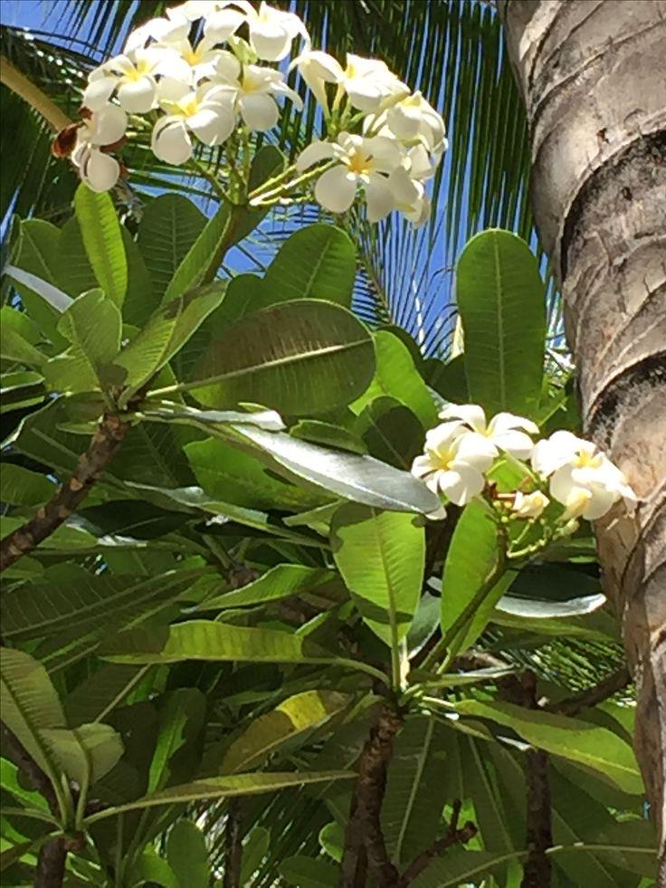Oahu Plumeria