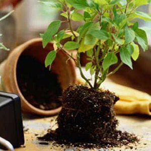 Пресаждане на растението