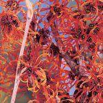 Avec ses fleurs d'un rouge flamboyant, l'hamamélis 'Diane' sait se faire remarquer.