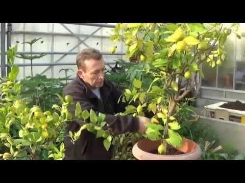 les 25 meilleures idées de la catégorie citronnier feuilles jaunes