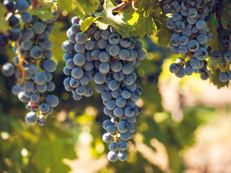 Suomessa menestyvät parhaiten hallaa kestävät ja nopeasti kypsyvät lajikkeet. Useimmat meillä menestyvät lajikkeet ovat eurooppalaisen viiniköynnöksen (Vitis vinifera) ja Pohjois-Amerikasta… Lue loppuun →