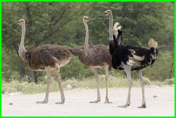 Burung Unta Asal Usul Ciri Dan Makanan Kesukaannya Ekor9 Com Unta Habitat Hewan