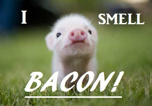 haha the pig smells bacon