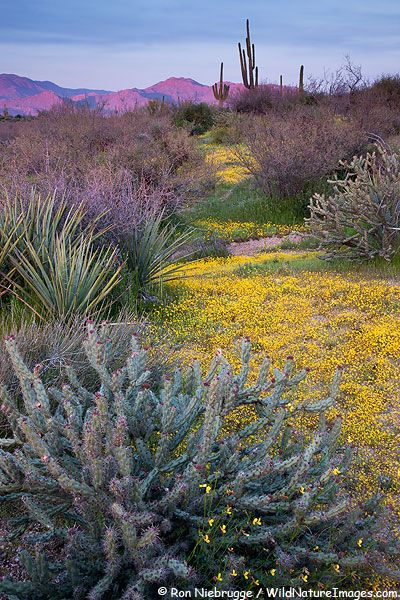 Saguaro Cactus and wildflowers in Tonto National Forest, Arizona