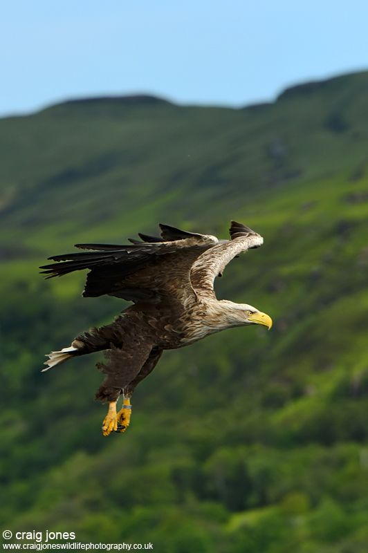 """White-tailed Eagle"" by Craig Jones, via 500px."