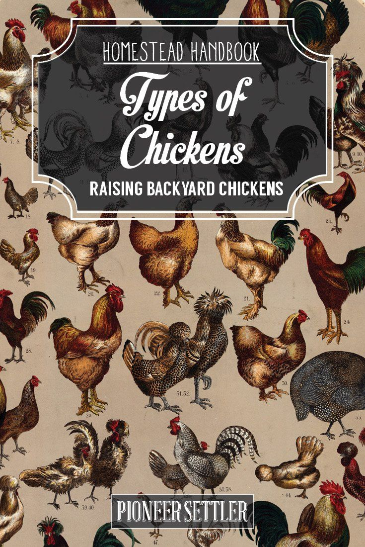 Check out Types of Chickens [Chapter 2] Raising Backyard Chickens at http://pioneersettler.com/types-of-chickens-chapter-2-raising-backyard-chickens/