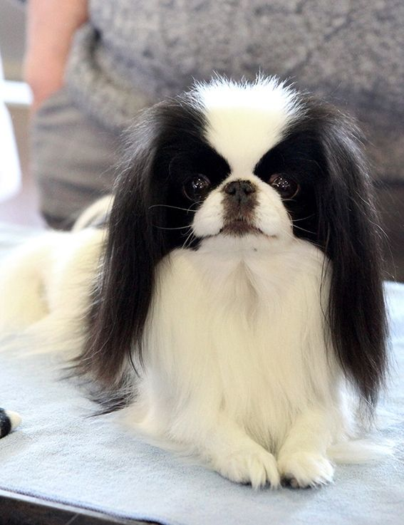 59 best Japanese Chin images on Pinterest | Japanese chin ...