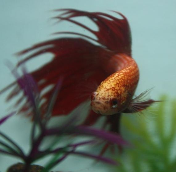 17 best images about betta tips on pinterest water for Best betta fish