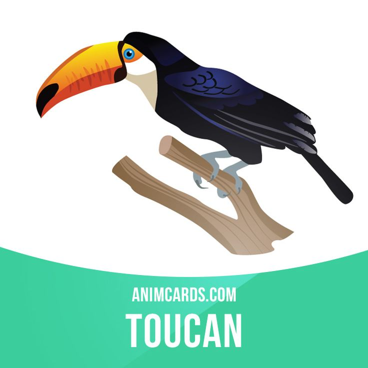 There are over forty species of toucans found in the tropical rainforest of South America. Their large bill helps them keep cool in the hot environment in which they live. This adaptation is one of the best heat regulating systems in the entire animal kingdom. Arteries in their bills expand when the bird gets hot; and release heat.  #english #englishlanguage #learnenglish #studyenglish #language #vocabulary #dictionary #englishlearning #vocab #animals #bird #birds #toucan