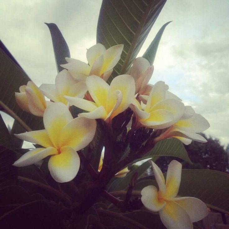 Frangipani Flowers in bloom