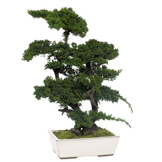 Bonsai Juniperus Procumbens Arbore Stabilizat 0.7 m