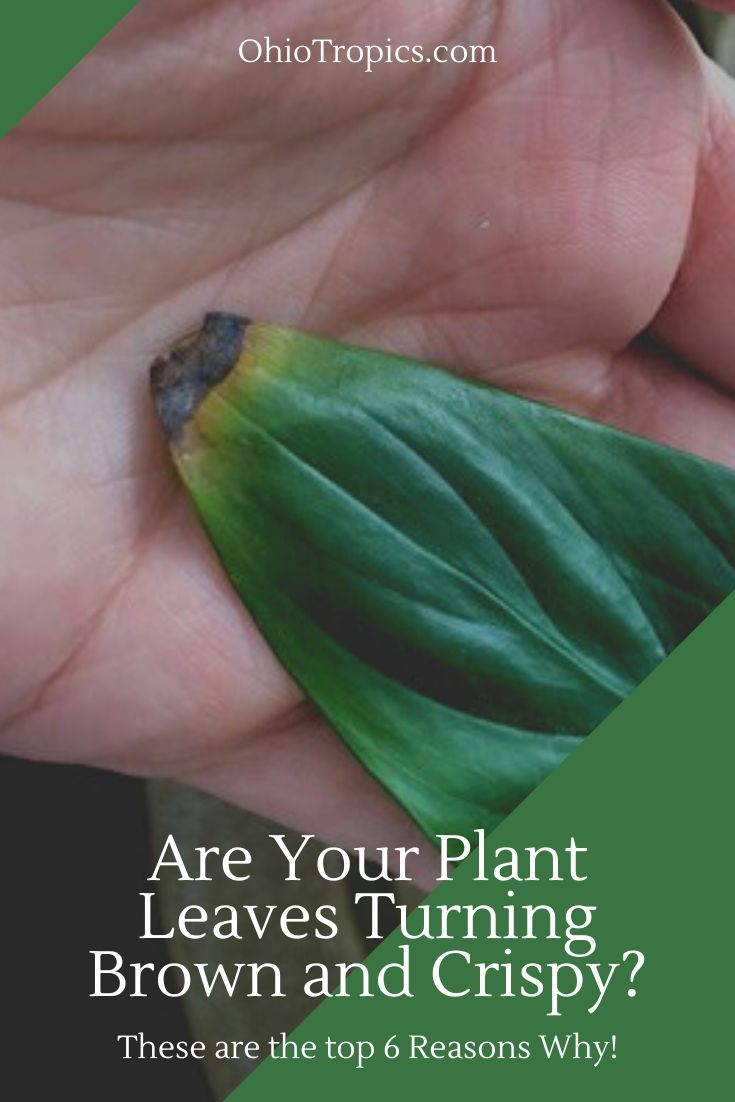 Are Your Plant Leaves Turning Brown And Crispy Plant Leaves Turning Brown Plant Leaves Plant Leaves Turning