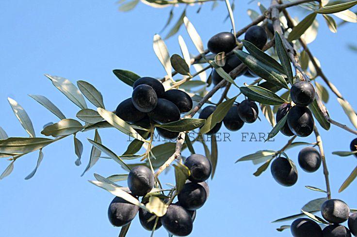 Ricette per conservare le olive nere: occorrono olive mature,nere e belle polpose.Procedimenti semplici che ci permettono di gustare le olive durante l'anno
