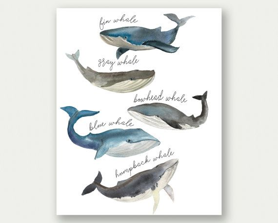 Whale Print Whale Species Watercolor Whales by TheSunshineGarden