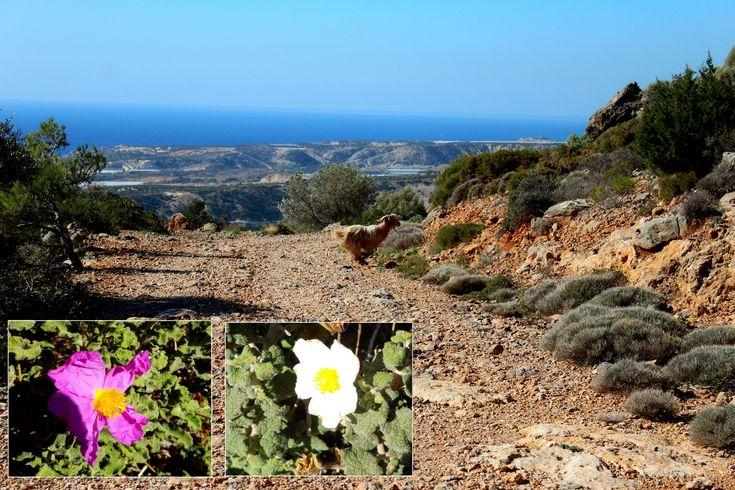 https://flic.kr/s/aHskwAcYVj | 150 Land of the Levitating Goat | Beetles, birds, flowers and... slug penises. More novelties of nature as we continue our trek among the Forty Saints in this week's #CreteNature bit.ly/40saintsII