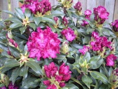 Hirsutum.info -- Rhododendron Hybrids/cultivars: 'Purple Lace'