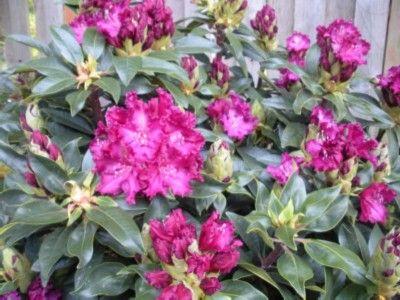 Hirsutum.info -- Rhododendron Hybrids/cultivars: 'Purple Lace'