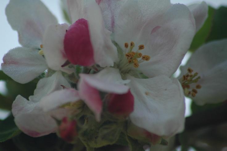 Flor del manzano , asturias ,Valdedios, Guardianes del Paraiso , flowers