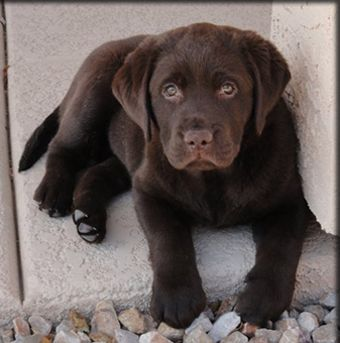 This is what our next family member is going to look like :) we ar getting a chocolate lab :)
