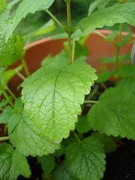 Using the herb, lemon balm, for fever blisters/cold sores. /www.TheSurvivalDoctor.com