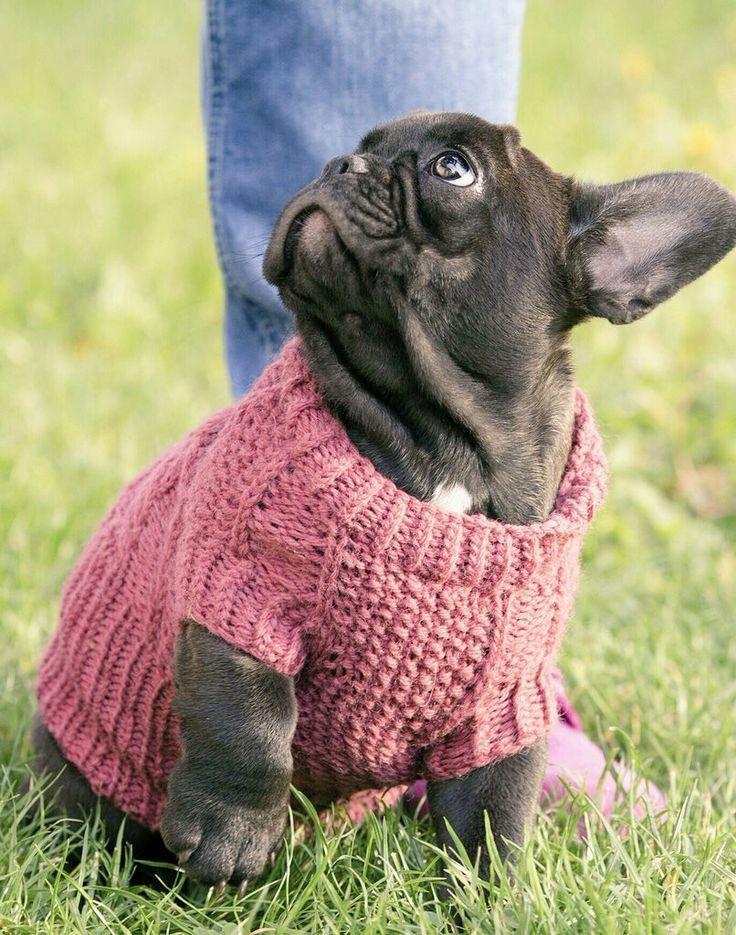 AVAILABLE: Frankie - French Bulldog Mini-Puppy,  choco boy  vanillabulldogs@gmail.com www.frenchbulldogbreed.net