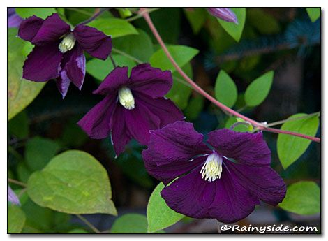 Clematis viticella 'Blue Belle' looks equally at home growing up into large shrubs and small trees, creeping around in ground covers, or overflowing containers