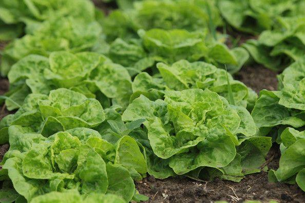 Meski tampilannya tak secantik hasil pertanian biasa, sayur organik jauh lebih aman dan sehat untuk dikonsumsi.