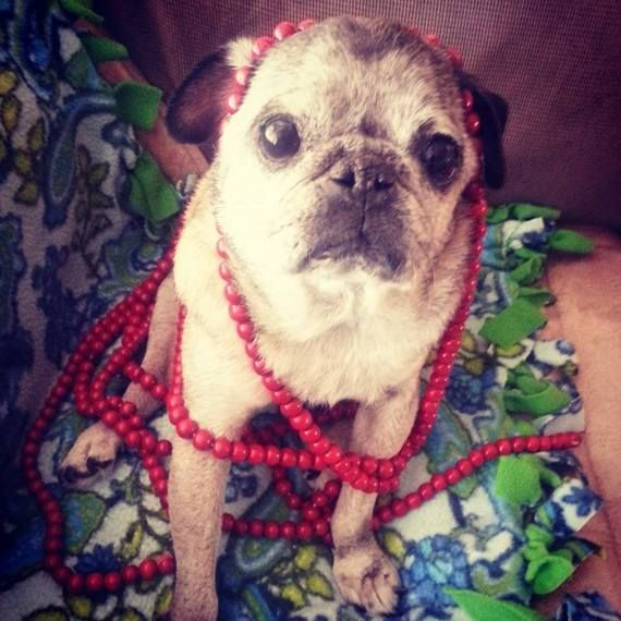 Oscar, the Pug in a Box. Please read this heart warming story...