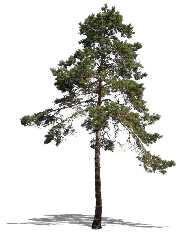 walnut tree photoshop - Google Search