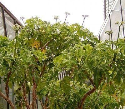 chaya-spinach-tree