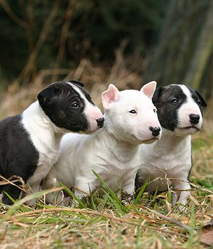 Bull Terrier Puppies!!!