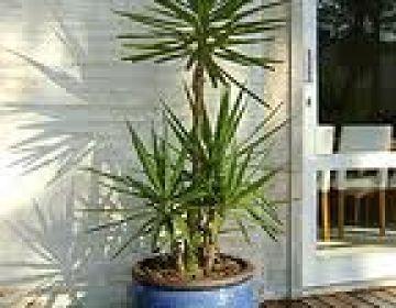 Yuca elefhatine palmeiras plantas mudas rvores for Yuca de interior