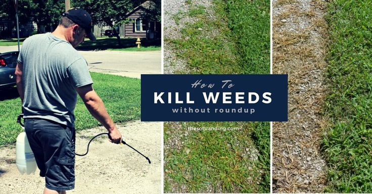 best 25 killing weeds ideas on pinterest weeds vinegar homemade weed spray and natural weed. Black Bedroom Furniture Sets. Home Design Ideas