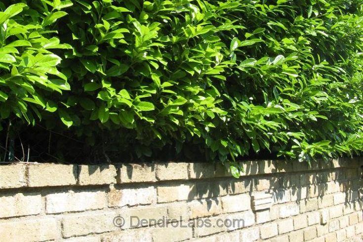 Art.892+Codice+Civile:+distanza+dal+confine+per+alberi+e+siepi