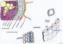 Les bandes de Caspary, qui tirent leur nom du botaniste Robert Caspary, sont des structures présentes dans les racines primaires au niveau de l'endoderme. Ces structures participent au transit de l'eau à l'intérieur des racines. Il s'agit de cadres imperméables, constitué d'une substance cireuse, la subérine ou le suber, empêchant le transit de l'eau par la voie apoplastique (ou apoplasmique). L'eau se trouve alors obligée de passer de cellule en cellule, par voie symplastique