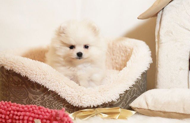 Белый принц на продажу 🐾🐾🐾 White Prince for sale #шпиц#шпицы#пом#померанский#померанскийшпиц#pom#poms#pomeranian#micropom#teacuppuppy#микрощенки#whitepom#pom#instapom#instagram#pups#puppy#micropom#spitz#boo#pomeranianspitz#petstagram#pomeranianpage#pomeranians#pompuppy#forsalepom#tsum#gum#pomeranianworld#instadog#белыйшпиц