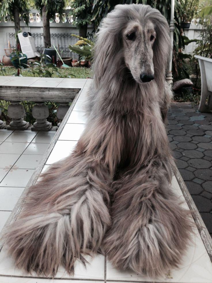 Sims 3 Afghan Hound 「Afghan hound...