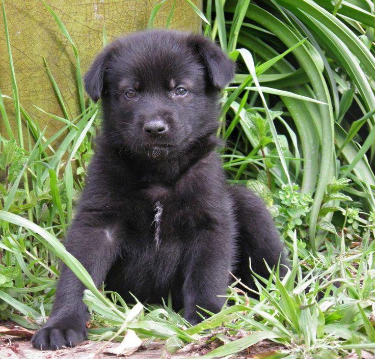 German Shepherd Labrador Mix Puppies Puppies, Lab mix
