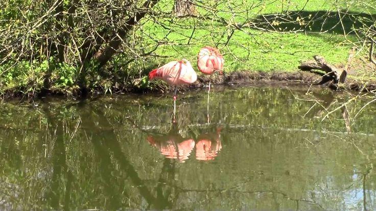 Chile Flamingos