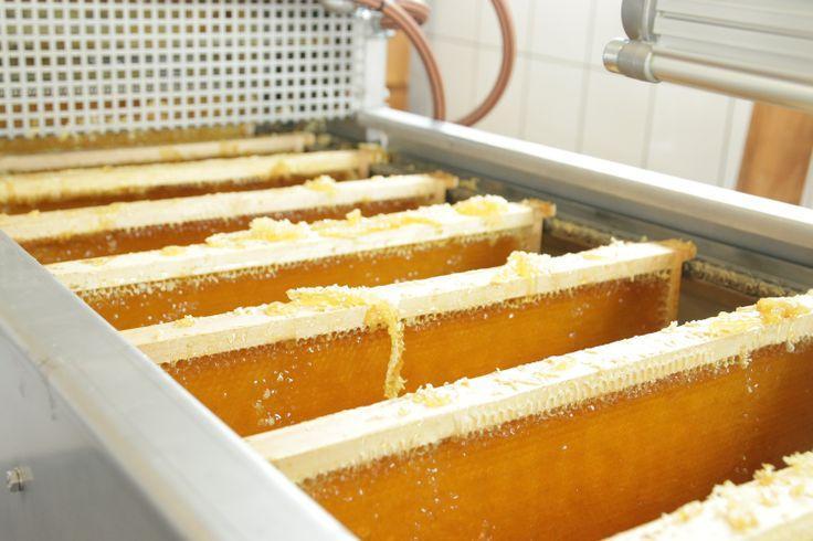 Honigwaben nach dem Entdeckeln fahren in die Schleuder