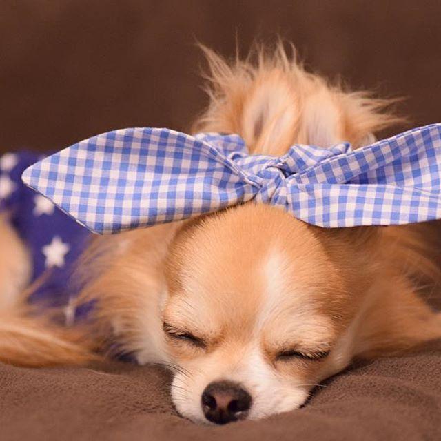 やだ奥さん、お顔のパックすると翌日の化粧ノリが全然違うくってよ♡ ・ ・ 笑 ・ ・ おばちゃんにしか見えない。笑 ・ ・ 何されても嬉しそうなちび... ・ ・ ・ ※Dog goods Shop Petit Chien※ ショップアカウント⇩ @petitchien2016 ・ ・ nikon D3300 tamron SP90mm F2.8 MACRO ・ #chihuahua#dog#instadog#dogstagram#instapet#pet#petstagram#instagood#instalike#mydog#lovemydog#dogsofinstagram #dogfashion#doggy#east_dog_japan #犬バカ部#愛犬#チワワ#ロンチー #ペット#ロングコートチワワ#モデル犬  #カメラ女子#写真好きな人と繋がりたい#ファインダー越しの私の世界#一眼レフ#NIKON#iGersJP#chihuahualove_feature#pecoいぬ部