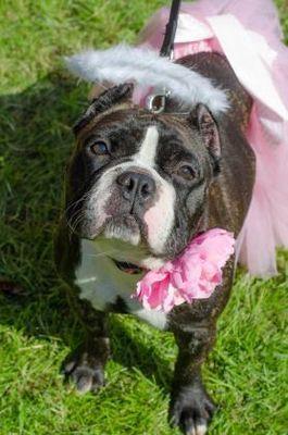 Philadelphia Pa English Bulldog Meet Karma A Dog For Adoption