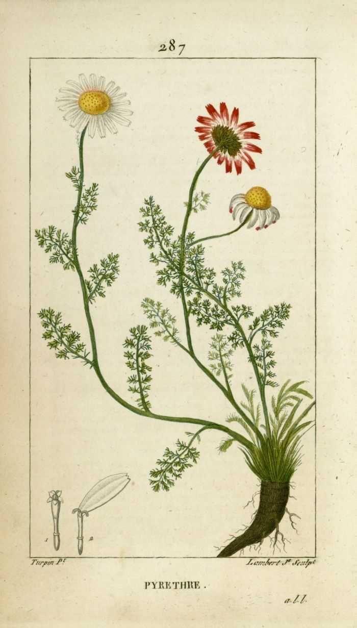 img/dessins-gravures de plantes medicinales/pyrethre.jpg