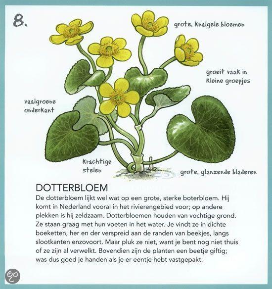 Dotterbloem