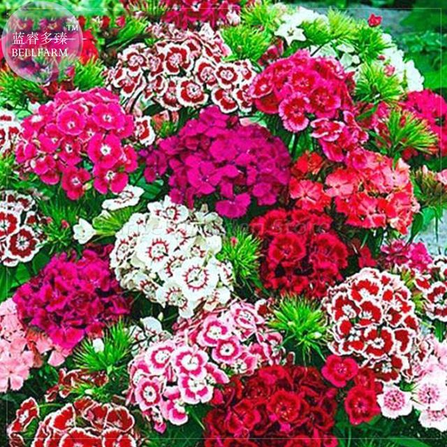 Sweet William Mixed Dianthus Barbatus Seeds, 100 Seeds, Professional Pack,