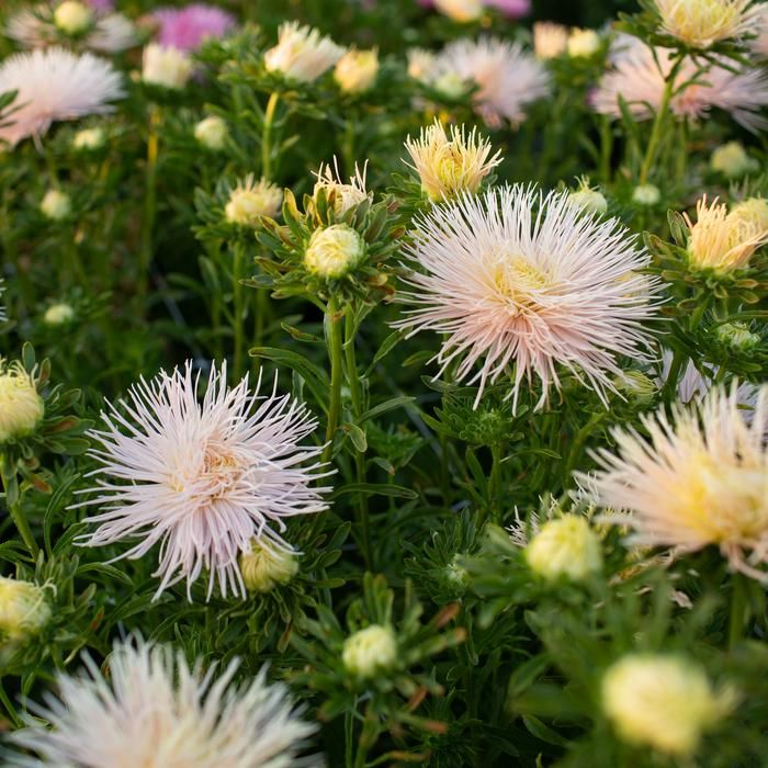 China Aster Valkyrie Chamois Floret Flower Farm In 2020 Flower Farm Pointed Flower Fall Bouquets