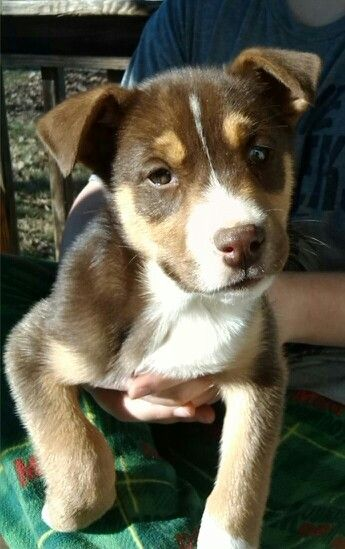 My Pitbull, Husky mix puppy, Clarice