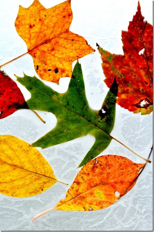 Fall Leaves in Wax Paper - The Seasoned Mom