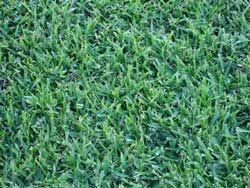 St Augustine Grass - Sapphire