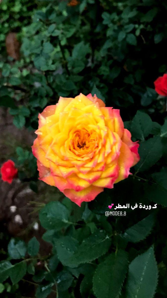 كالوردة في المطر Flowers Rose Plants